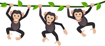 Three chimpanzee Stock Images