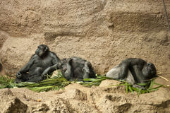 Three Chimpanzees. Three tired chimps sitting and sleeping Stock Image