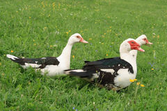 Three Chinese ducks royalty free stock images