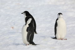 Three Chinstrap penguins in Antarctica. Three Chinstrap penguins (Pygoscelis antarctica) in Antarctica, standing on the snow Royalty Free Stock Photo
