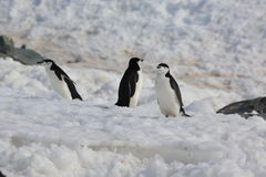 Three Chinstrap penguins in Antarctica. Three Chinstrap penguins (Pygoscelis antarctica) in Antarctica, standing on the snow, walking Stock Images