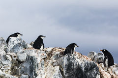 Three Chinstrap Penguins and a Gentoo Penguin Royalty Free Stock Photos