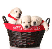 Three Christmas puppies. Three yellow lab puppies in a Merry Christmas basket Stock Image