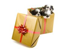 Three Christmas Pups. Three cute Shih Tzu puppies in a gold box with a red bow and ribbon for a Christmas gift Stock Photography