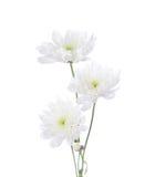 Three chrysanthemums Royalty Free Stock Image