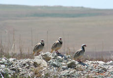 Three Chukars. Image of three Chukars traveling together Royalty Free Stock Photography