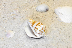 Three shells and spiral shell resting on a warm beach Royalty Free Stock Images