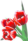 Three claret flowers tulips Stock Photo