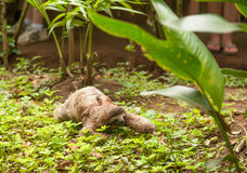 Three clawed sloth Royalty Free Stock Images