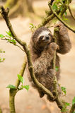 Three clawed sloth. Hanging from tree Stock Photography