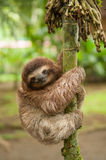 Three clawed sloth