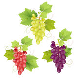 Three cluster of grapes Royalty Free Stock Photography