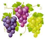 Three cluster of grapes. This image is a vector illustration and can be scaled to any size without loss of resolution vector illustration