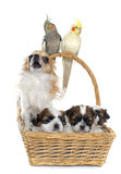 Three cockatiel and dogs Royalty Free Stock Photo