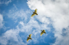 Three Cockatoos Royalty Free Stock Photo