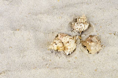 Three cockleshells Royalty Free Stock Image
