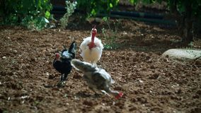 Three cocks eat worms. stock footage
