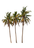 Three coconut palm trees Royalty Free Stock Image