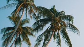 Three coconut palms with green coconuts on palm tree. Three coconut palms with green coconuts on a palm tree stock video footage