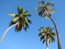 Three coconut trees Royalty Free Stock Photos