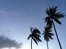 Three coconut trees Royalty Free Stock Photos
