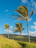 Coconut Trees in Wind Royalty Free Stock Images