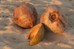 Three coconuts on beach Royalty Free Stock Images