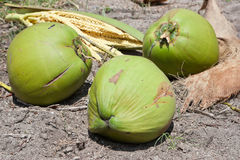 Three coconuts on the ground Stock Image