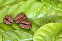 Three coffee beans lying on the leaf Stock Image