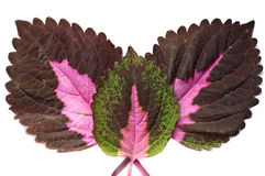 Three coleus leaves Royalty Free Stock Image