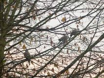 Three collard doves perches on bare autumn branches close up. Essex; england; uk Stock Images