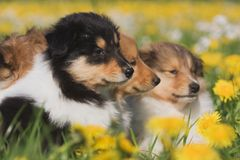 Three Collie puppies Stock Photo