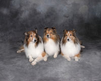 Three Collies. Three collie dogs shot in the studio Stock Images
