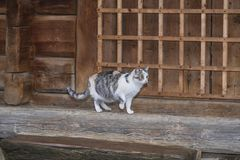 Three-color beautiful cat.Cute gray cat sitting on a wooden bench outdoors .A gray cat sits on a wooden bench near the house royalty free stock photo