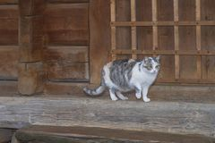 Three-color beautiful cat.Cute gray cat sitting on a wooden bench outdoors .A gray cat sits on a wooden bench near the house royalty free stock photography