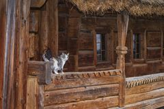 Three-color beautiful cat.Cute gray cat sitting on a wooden bench outdoors .A gray cat sits on a wooden bench near the stock images