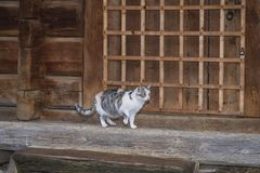 Three-color beautiful cat.Cute gray cat sitting on a wooden bench outdoors .A gray cat sits on a wooden bench near the. Cute gray cat sitting on a wooden bench royalty free stock photography