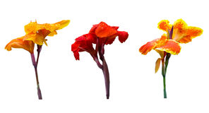 Three color of Canna lily Royalty Free Stock Photo
