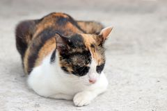 Three color of cat, orange, black with white sleep and close eyes on the concrete ground. A small domesticated carnivorous mammal with soft fur, a short snout royalty free stock photography