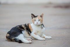 Three color cat Royalty Free Stock Photo
