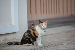 Three color cat Royalty Free Stock Images