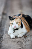 Three color cat Royalty Free Stock Photos