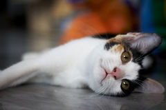 Three-color cat relaxing on marble ground. Cat relaxing Stock Images