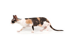 Three-color cornish rex cat Royalty Free Stock Images