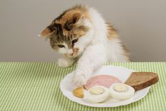 Three-color domestic cat steals food from a plate on table stock image