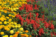 Three color flower garden. Garden with yellow, red or redish and lilac or purple flowers Royalty Free Stock Image