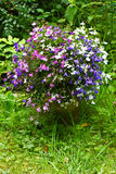 Three color garden lobelia Stock Photos