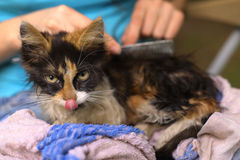 Three color kitten been wash in towel on human lap Stock Photo