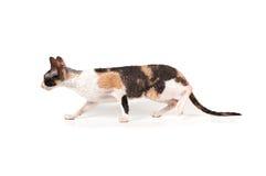 Three-color kornische rex Katze lizenzfreie stockbilder