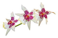 Three color Orchid Stock Photography